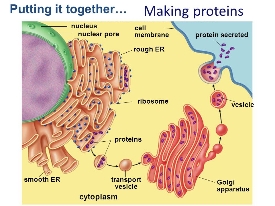 cell membrane finished Onion root cell cycle lab answers you are here:  in this stage the chromosomes reached the centrioles and a nuclear membrane begins to form around each nucleus.