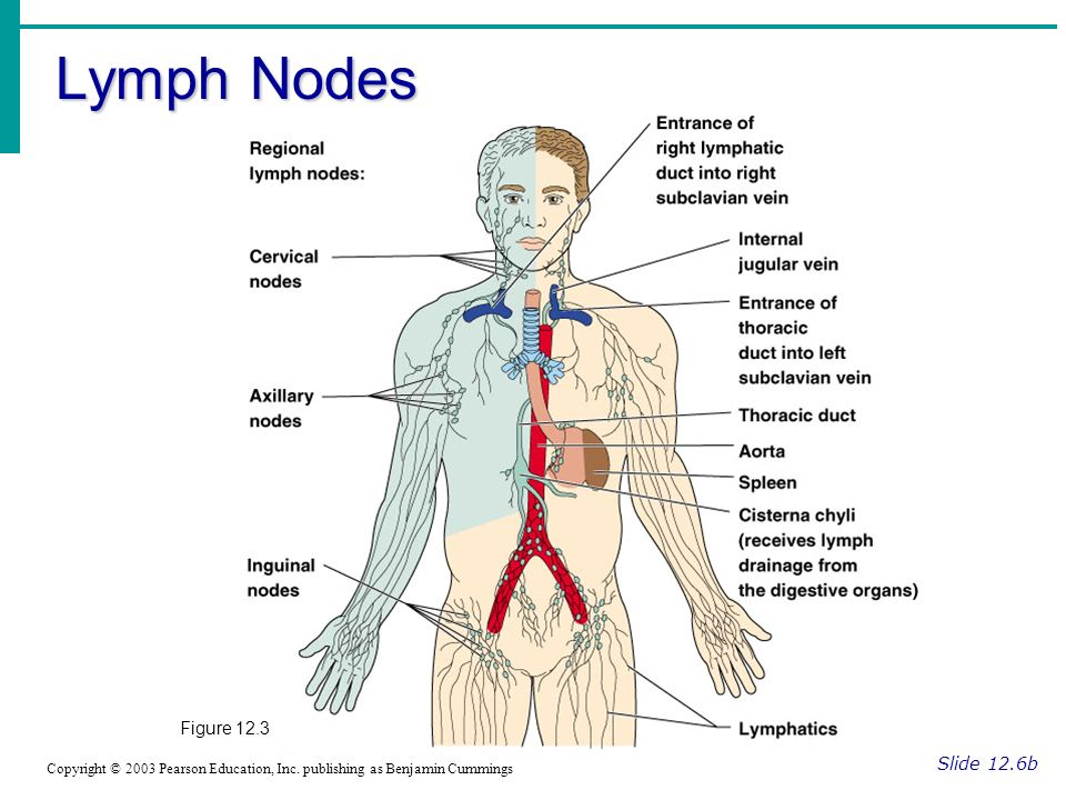 Lymph Nodes Figure 12.3 Slide 12.6b