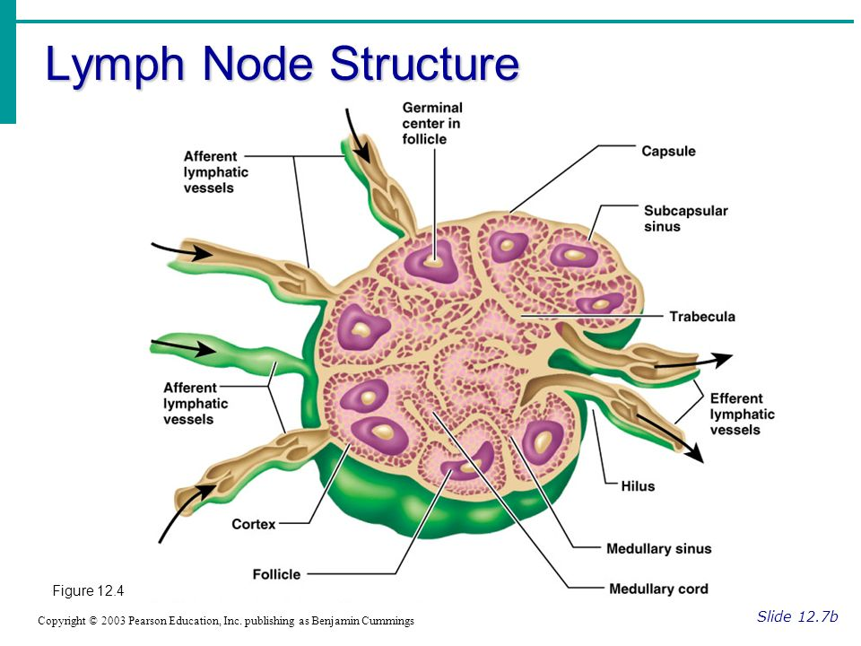 Lymph Node Structure Figure 12.4 Slide 12.7b