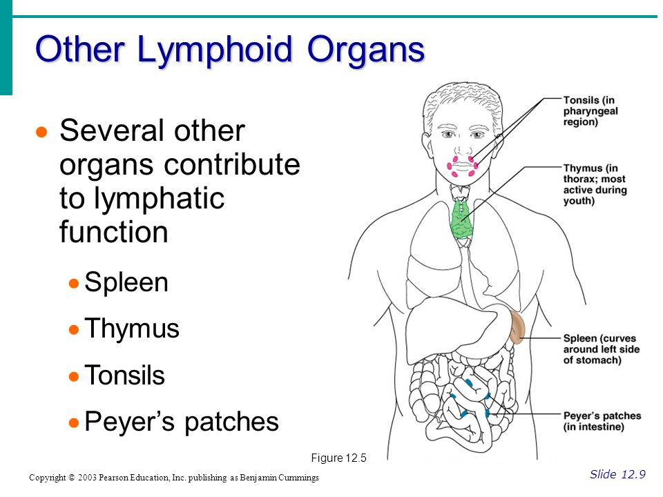 Other Lymphoid Organs Several other organs contribute to lymphatic function. Spleen. Thymus. Tonsils.