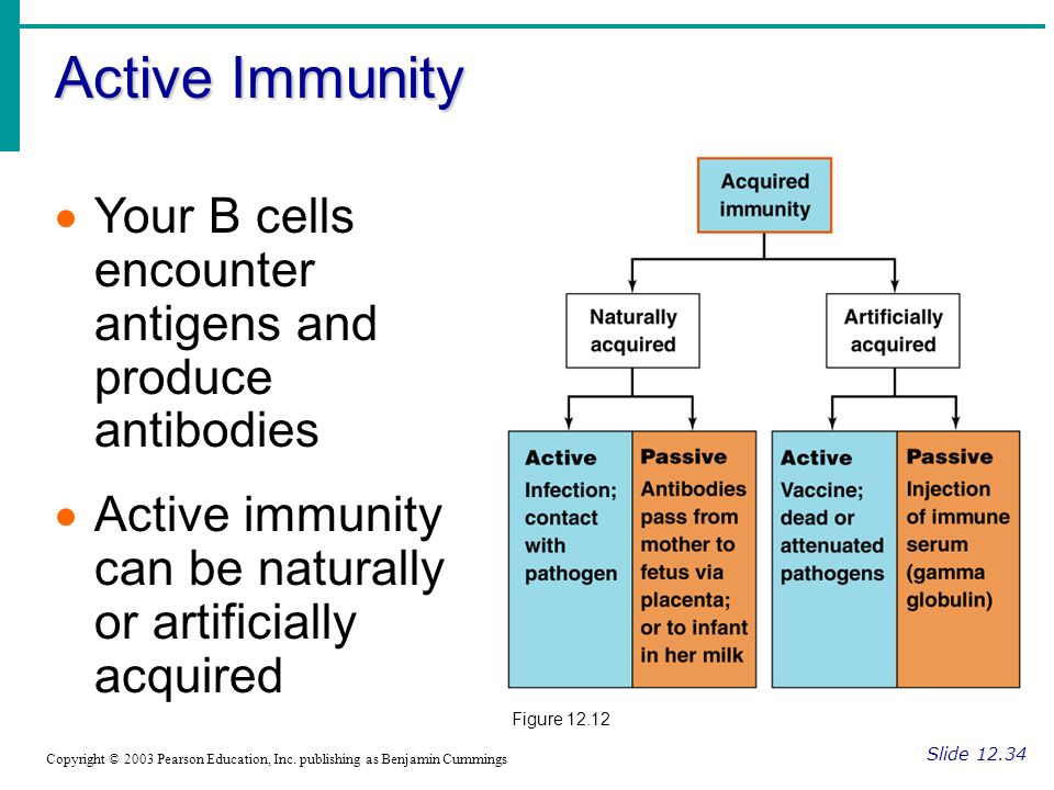 Active Immunity Your B cells encounter antigens and produce antibodies