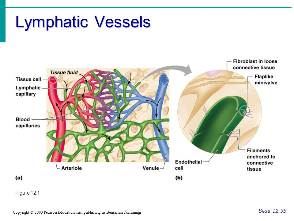 Lymphatic Vessels Figure 12.1 Slide 12.3b