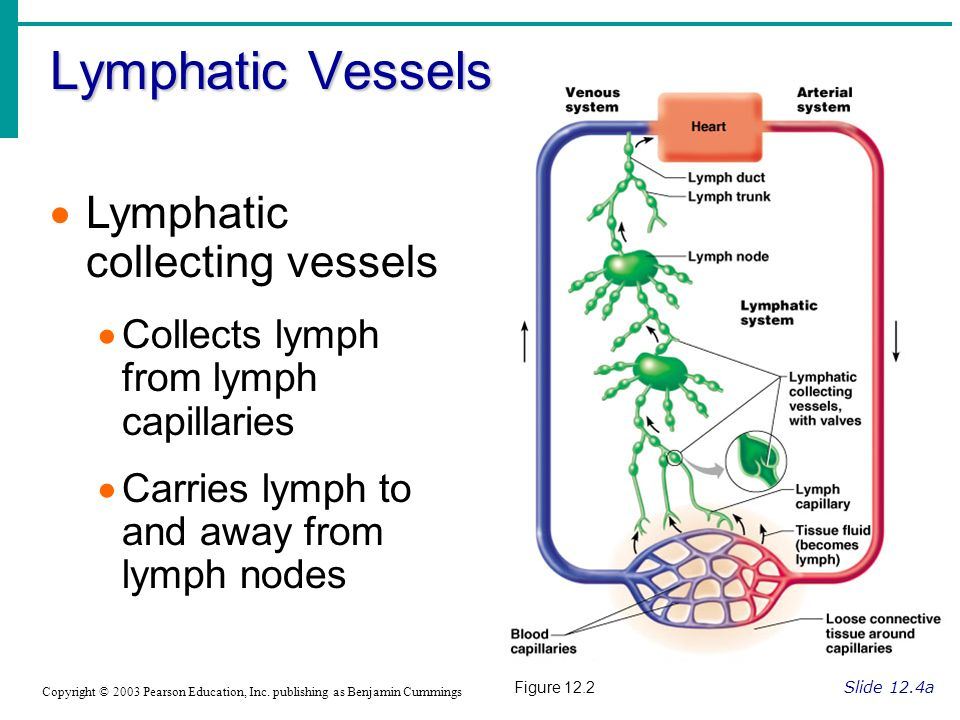 Lymphatic Vessels Lymphatic collecting vessels
