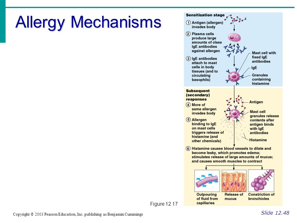 Allergy Mechanisms Figure Slide 12.48