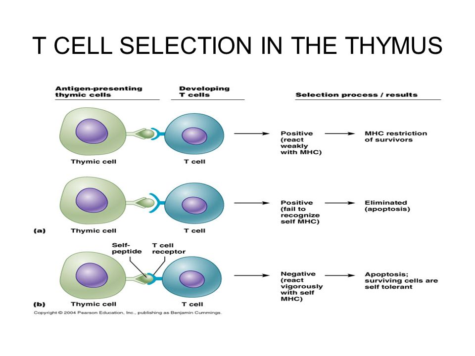 Natural Selection And Stem Cells