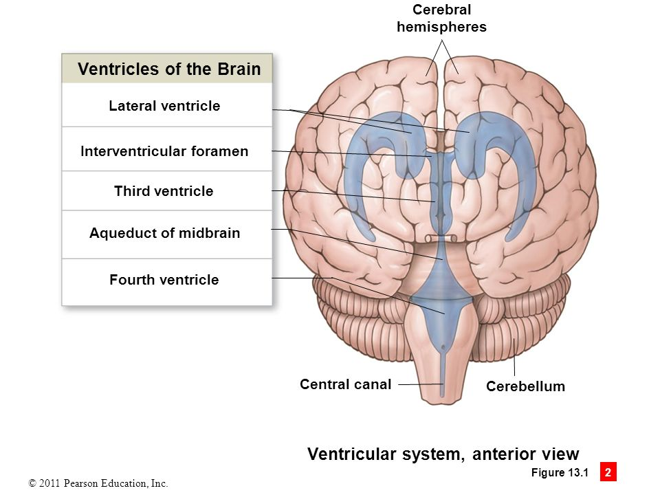 13 the brain and cranial nerves ppt download ventricles of the brain ccuart Choice Image