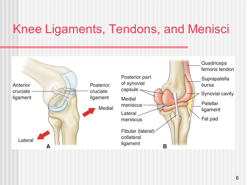 Anatomy of the knee tendons and ligaments