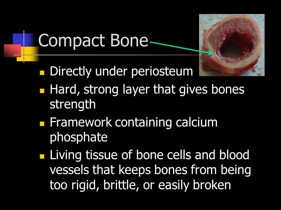 Compact Bone Directly under periosteum