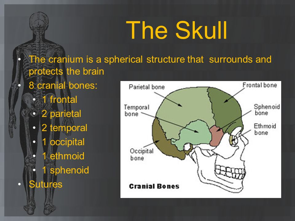 The Skull The cranium is a spherical structure that surrounds and protects the brain. 8 cranial bones: