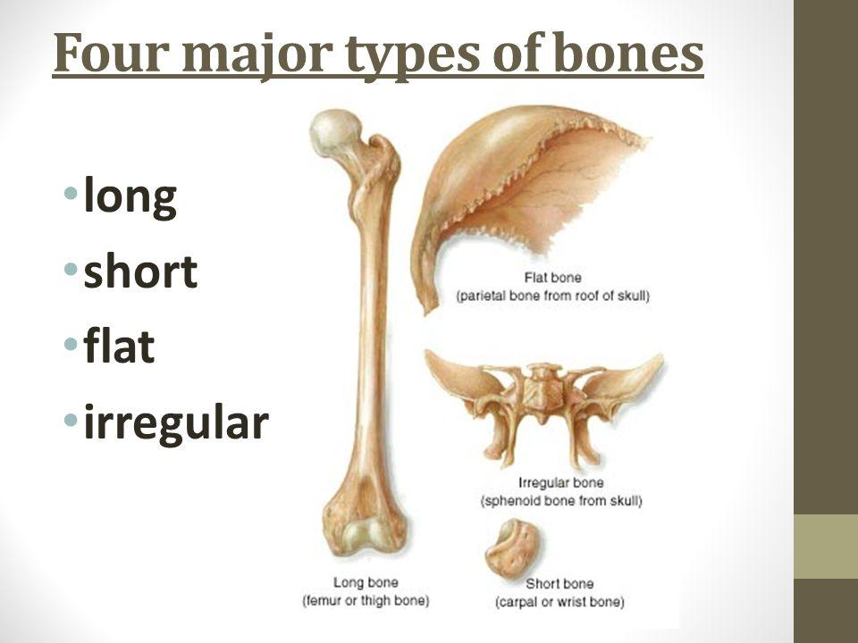 skeletal system. - ppt video online download, Sphenoid