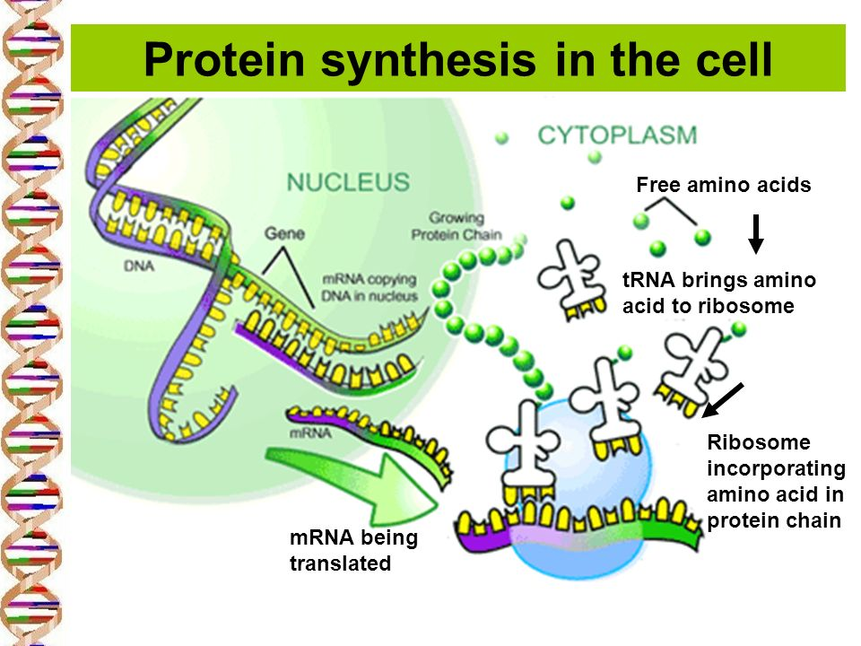 protein synthesising cell acid Protein synthesis is a biological process that allows individual cells to build specific proteins both dna (deoxyribonucleic acid)and rna (ribonucleic acids) are involved in the process, which is initiated in the cell's nucleus the actual process of protein synthesis takes place in the cell.