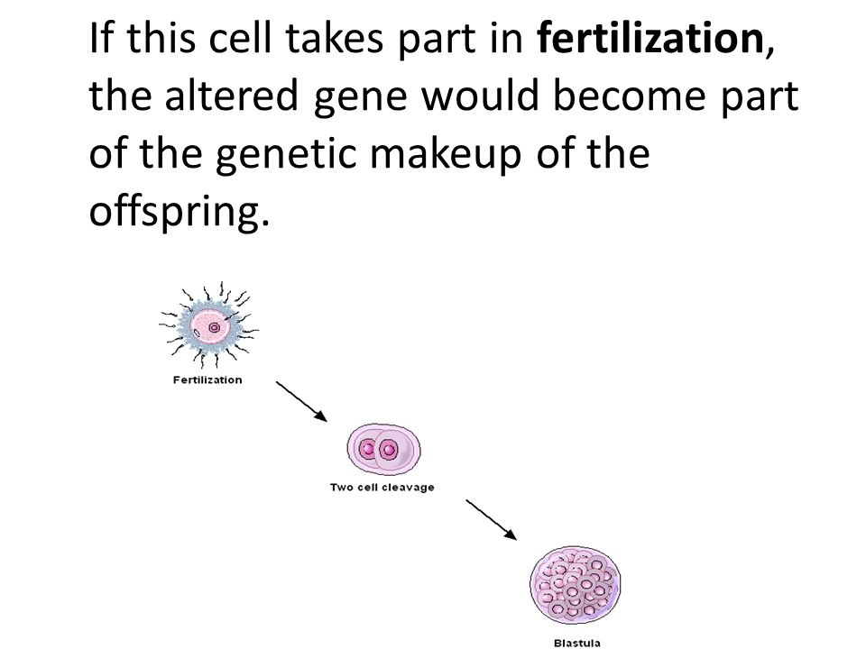 If this cell takes part in fertilization, the altered gene would become part of the genetic makeup of the offspring.