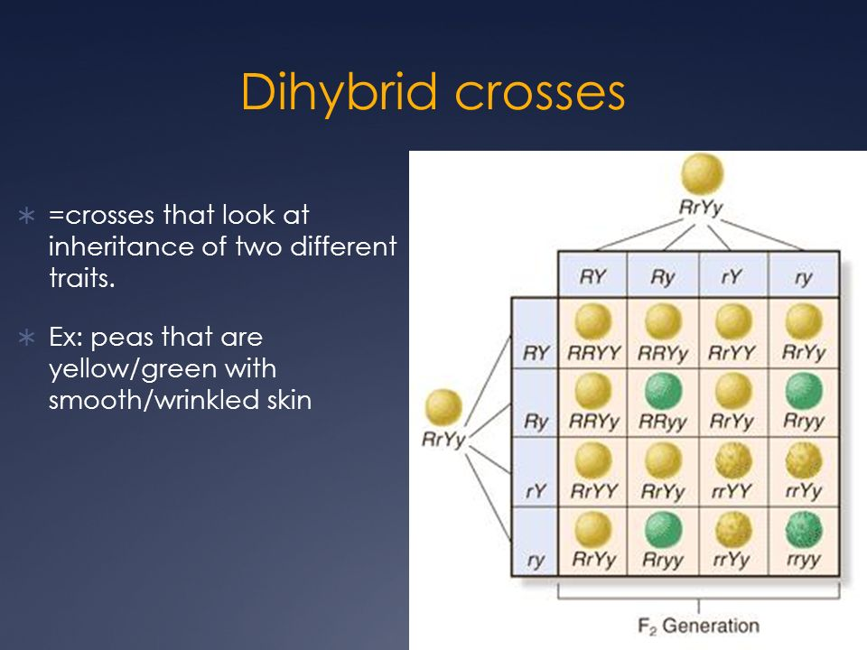 lab dihybrid crosses Corn genetics corn lab background: for each of your ears, determine whether it is a monohybrid or dihybrid cross and be able to explain why you think so.