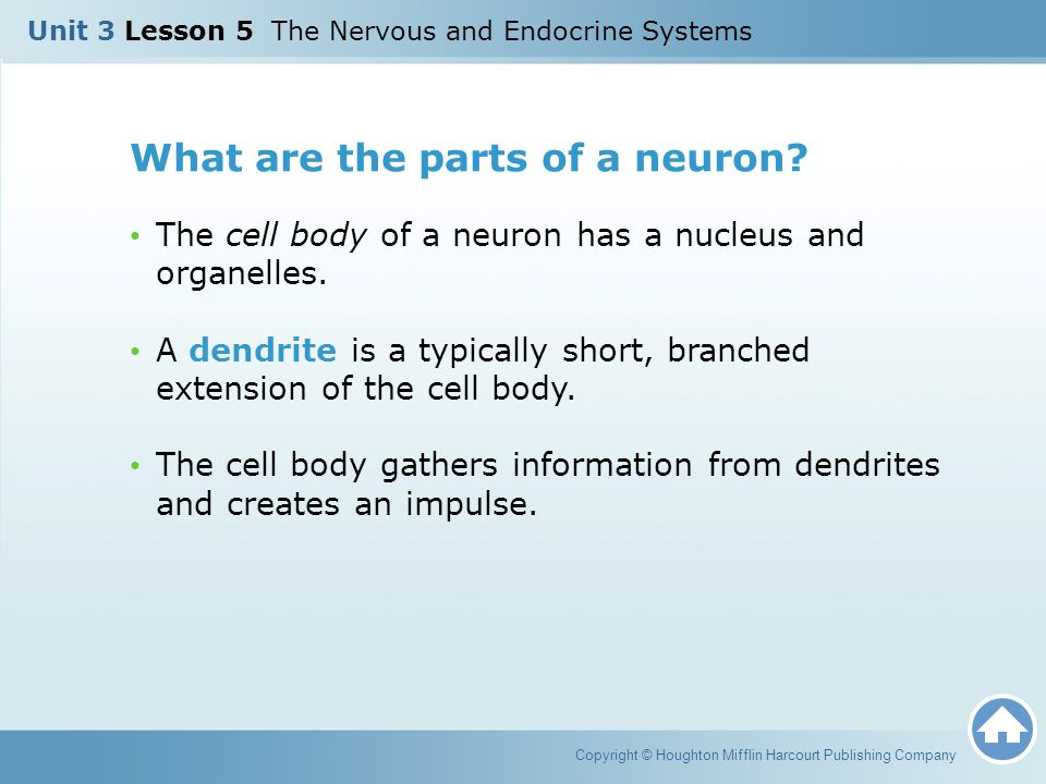 What are the parts of a neuron