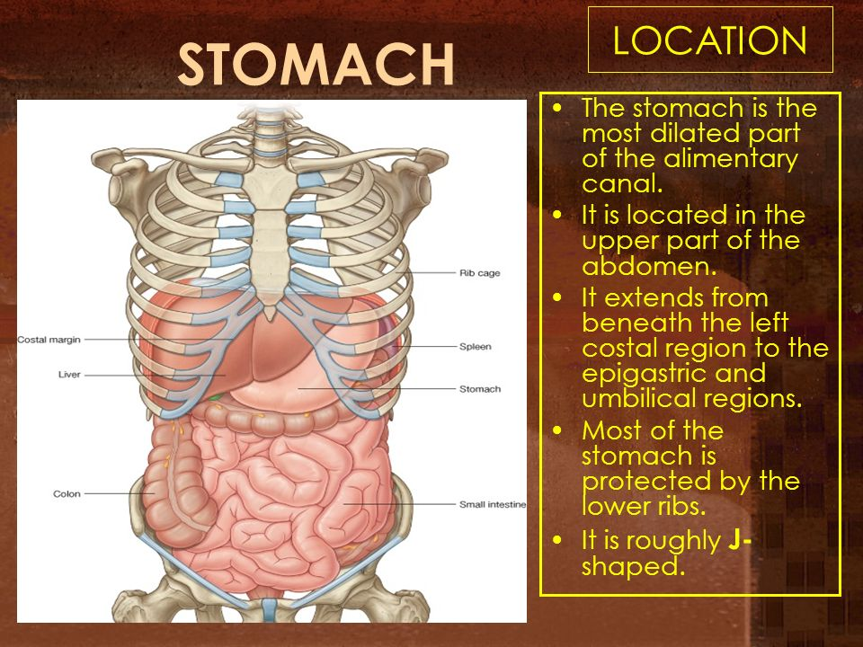 Anatomy stomach location