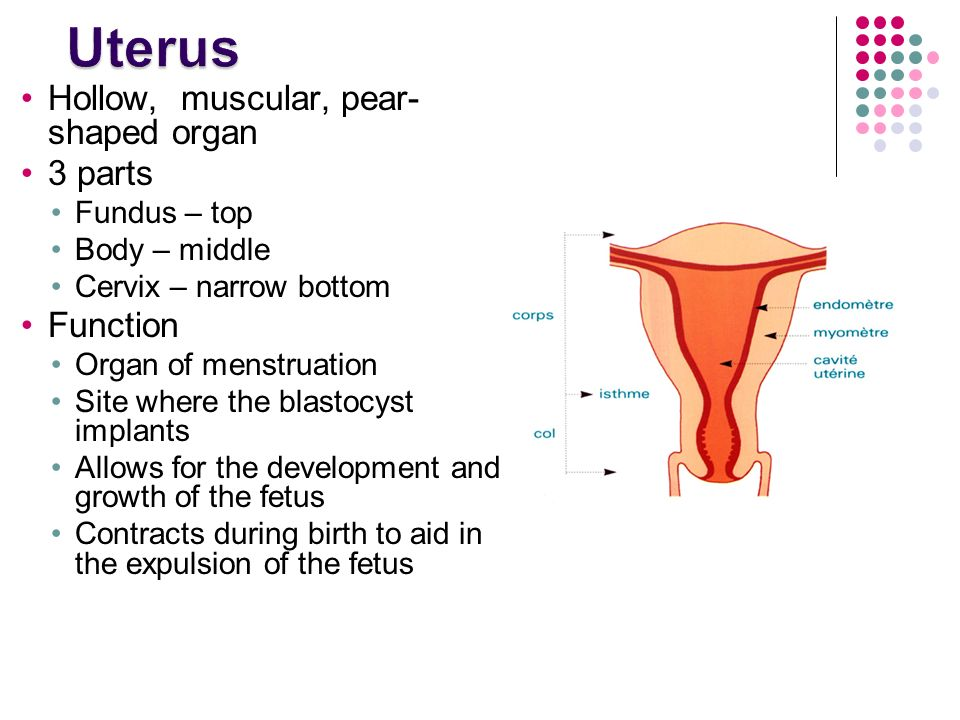 Outstanding Function Of Uterus Mold - Anatomy And Physiology Biology ...