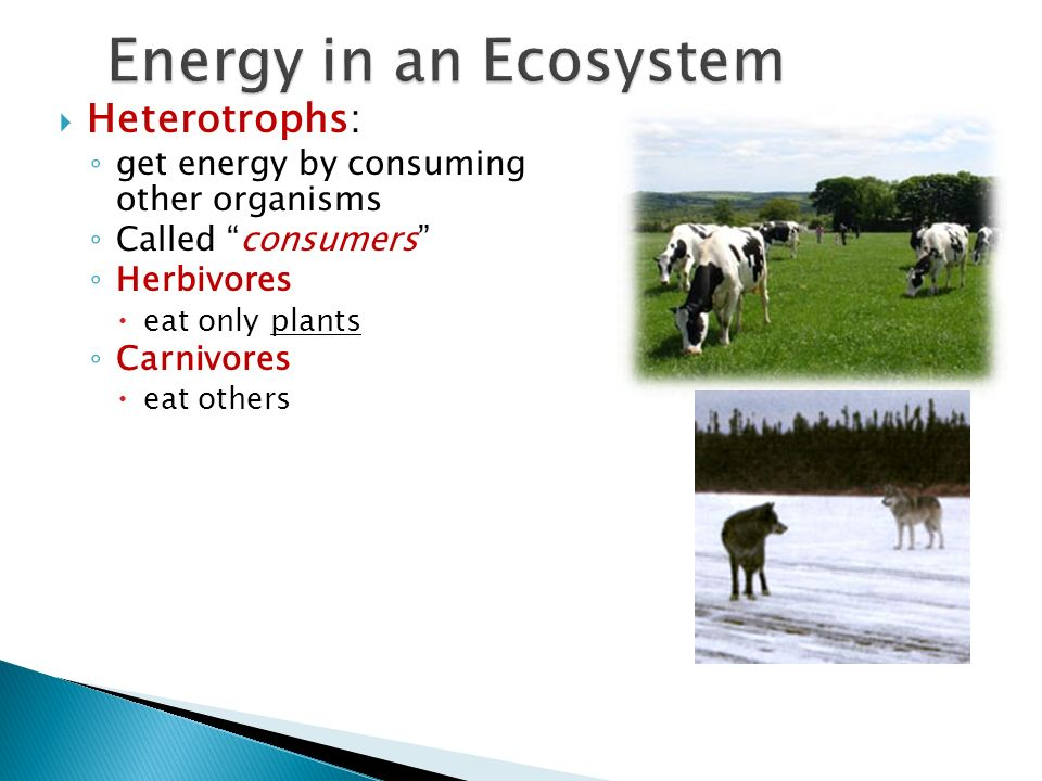 Energy in an Ecosystem Heterotrophs: