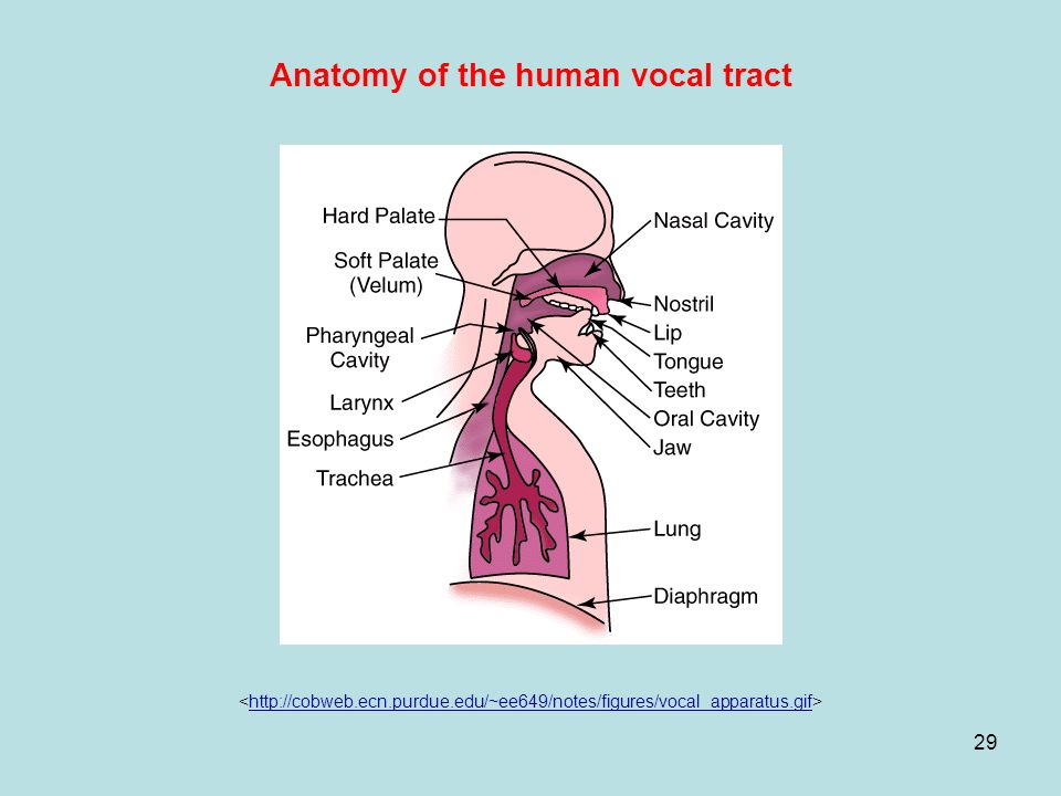 Vocal Tract Anatomy To Pin On Pinterest