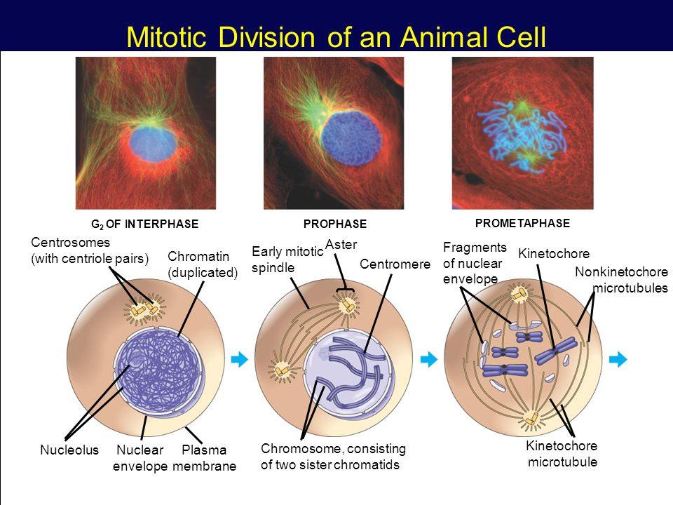 write an essay on mitotic cell division Free coursework on cell essay from essayukcom, the uk essays company for essay, dissertation and coursework writing either mitosis or meiosis cell division.