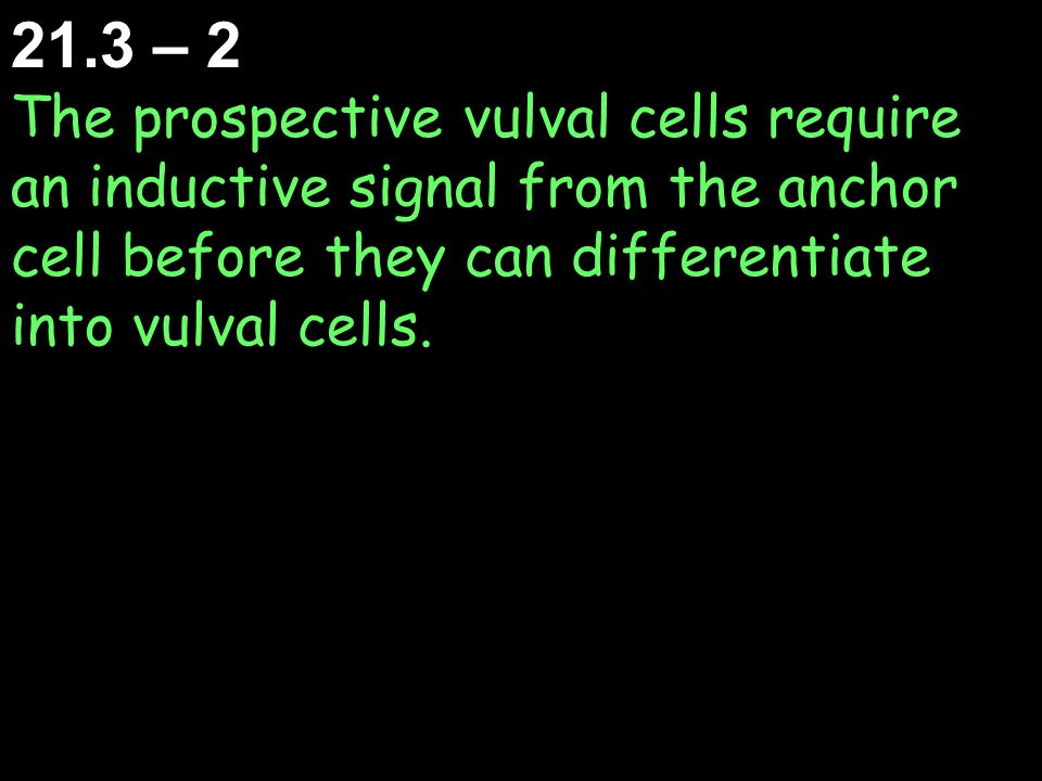 21.3 – 2 The prospective vulval cells require an inductive signal from the anchor cell before they can differentiate into vulval cells.