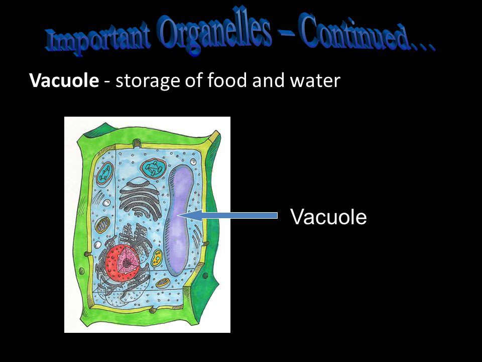 Important Organelles – Continued…