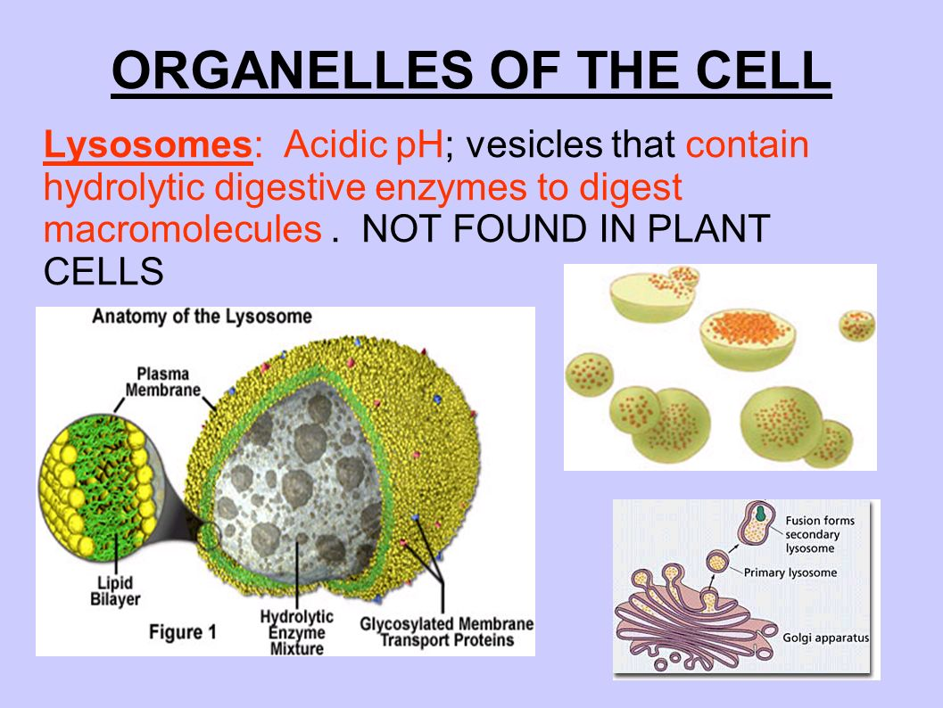 Anatomy of the plant cell 478534 - follow4more.info