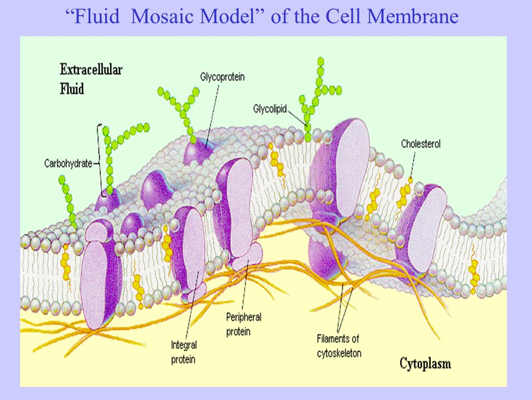 The structure function of cells ppt video online download 9 fluid mosaic model pooptronica