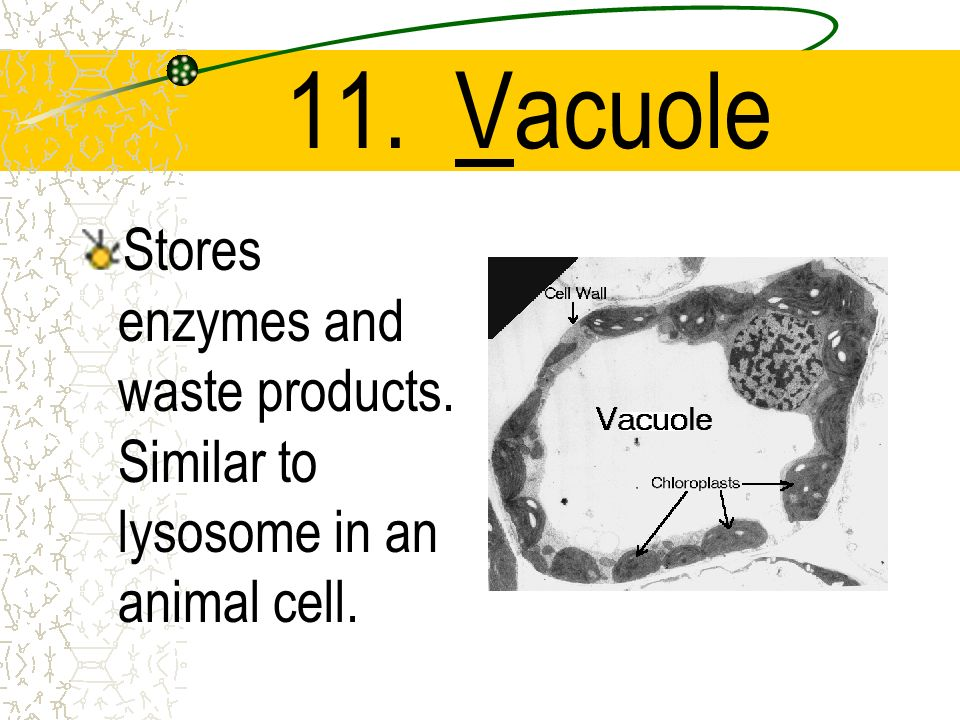 11. Vacuole Stores enzymes and waste products. Similar to lysosome in an animal cell.