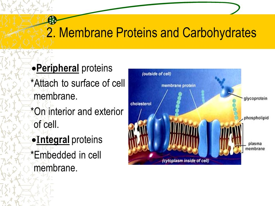2. Membrane Proteins and Carbohydrates