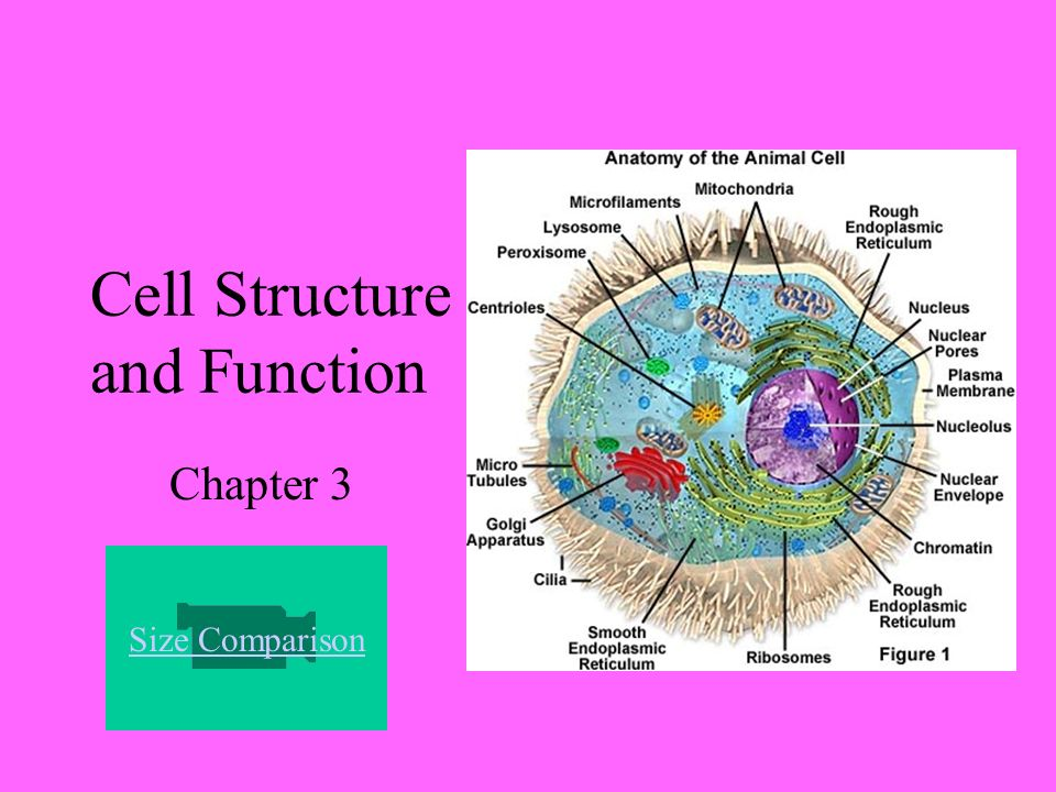 Cell structure and function worksheet answers chapter 3