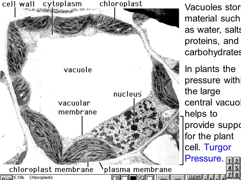 Vacuoles+store+material+such+as+water%2C+salts%2C+proteins%2C+and+carbohydrates