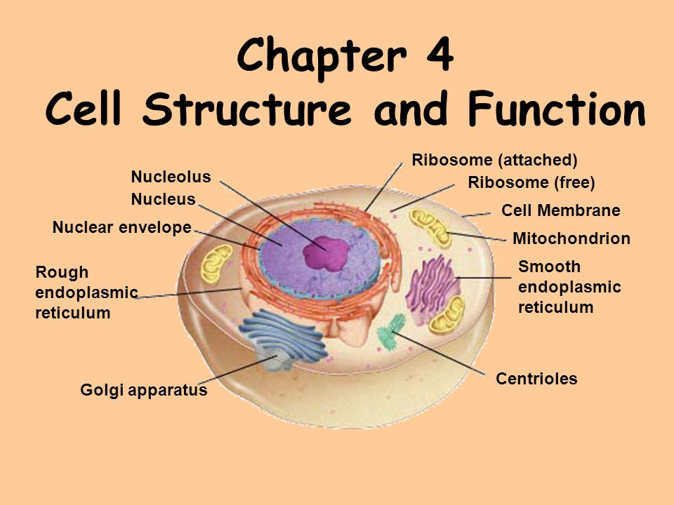 Chapter 4 cell structure and function ppt video online download chapter 4 cell structure and function ccuart Gallery