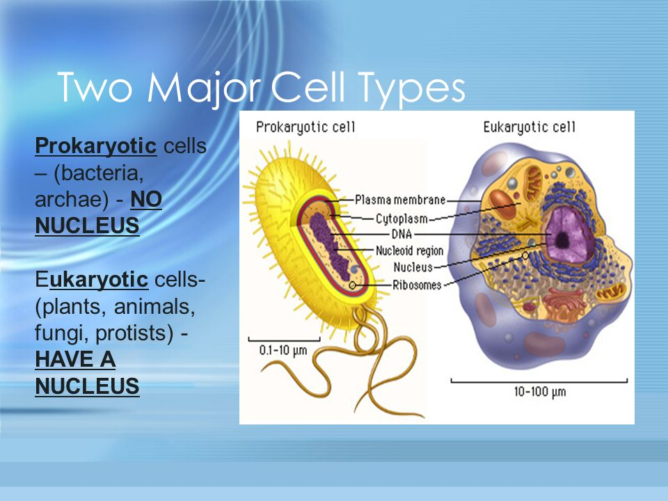compare the nucleoid area prokaryotic to a nucleus eukaryotic What is the function of nucleoids a: the nucleoid differs from the nucleus of a eukaryotic cell  prokaryotic cells and eukaryotic cells have multiple.