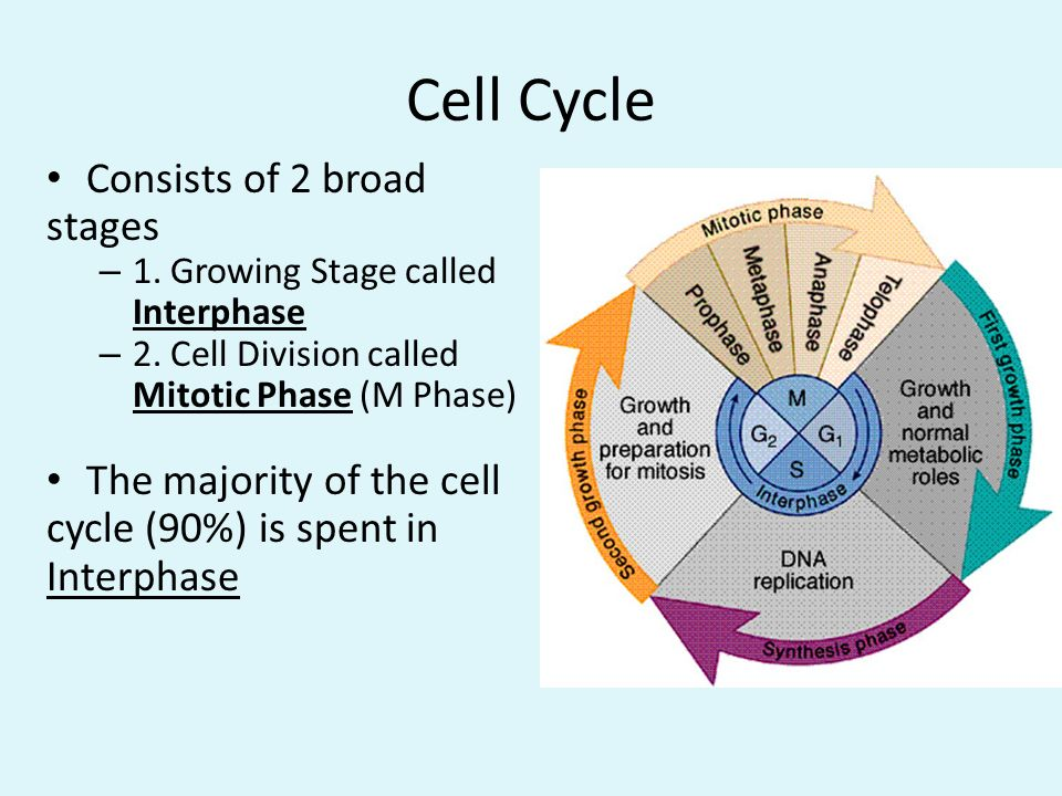 Cell Cycle Consists of 2 broad stages