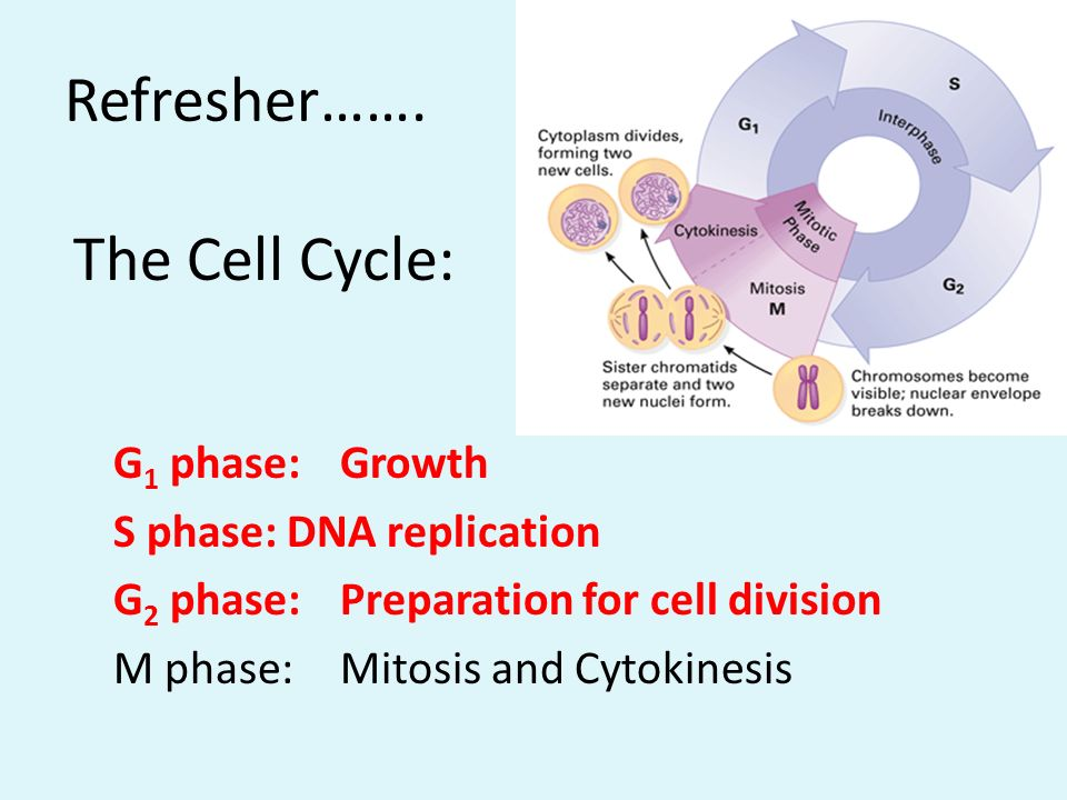 Refresher……. The Cell Cycle: G1 phase: Growth S phase: DNA replication