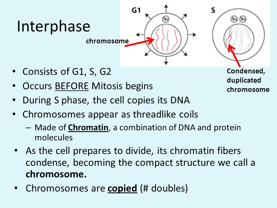Interphase Consists of G1, S, G2 Occurs BEFORE Mitosis begins