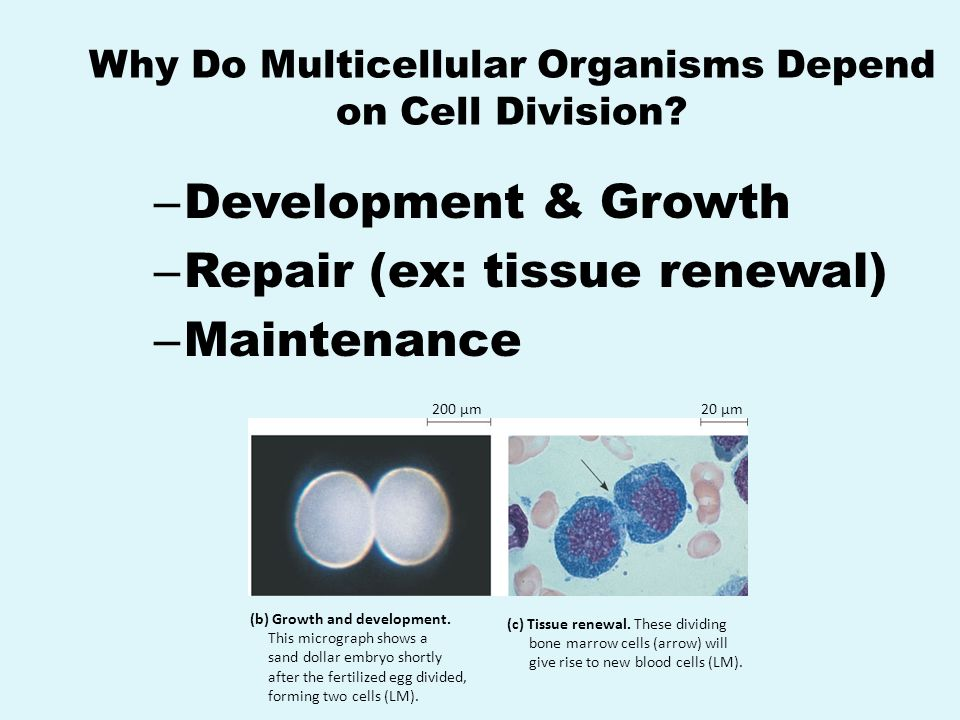 Why Do Multicellular Organisms Depend on Cell Division
