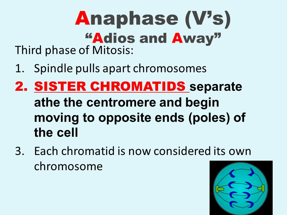 Anaphase (V's) Adios and Away
