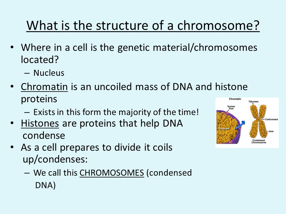 What is the structure of a chromosome
