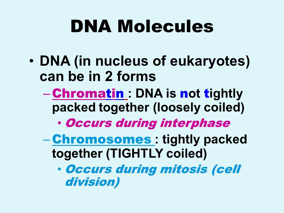 DNA Molecules DNA (in nucleus of eukaryotes) can be in 2 forms