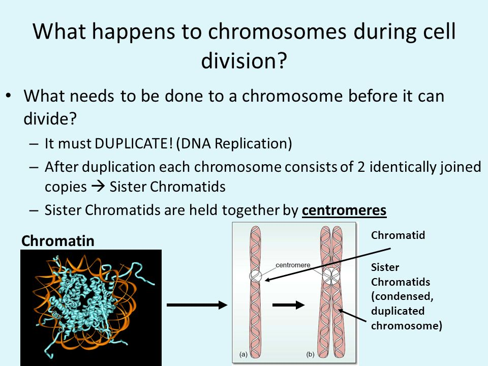 What happens to chromosomes during cell division