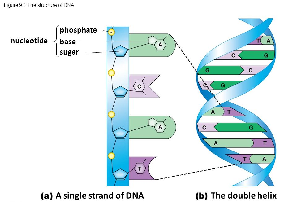 """an analysis of double helix of the dna in biology This set of molecular biology multiple choice questions & answers (mcqs) focuses on """"double stranded dna forms a double helix"""" 1 the first x-ray diffraction patterns of dna were taken in 1938 by _____."""