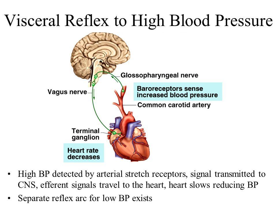 Chapter 15 autonomic nervous system visceral reflexes ppt visceral reflex to high blood pressure ccuart Gallery