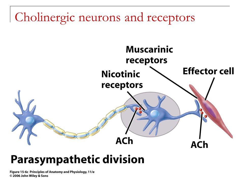 adrenergic and cholinergic receptors pdf