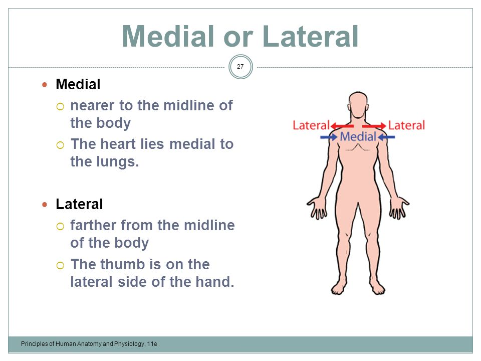 Famous Lateral In Anatomy Gift - Anatomy And Physiology Biology ...