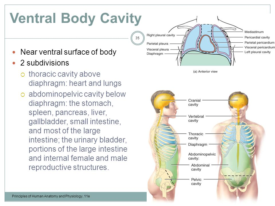 abdomen and ventral body cavity essay Abdominopelvic cavity • inferior portion of ventral body cavity below diaphragm • encircled by abdominal wall bones & muscles of pelvis  thoracic cavity • encircled by ribs sternum vertebral column and muscle • divided into 2 pleural cavities by mediastinum • mediastinum contains all thoracic organs except lungs.