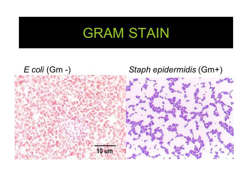 E.coli gram stain