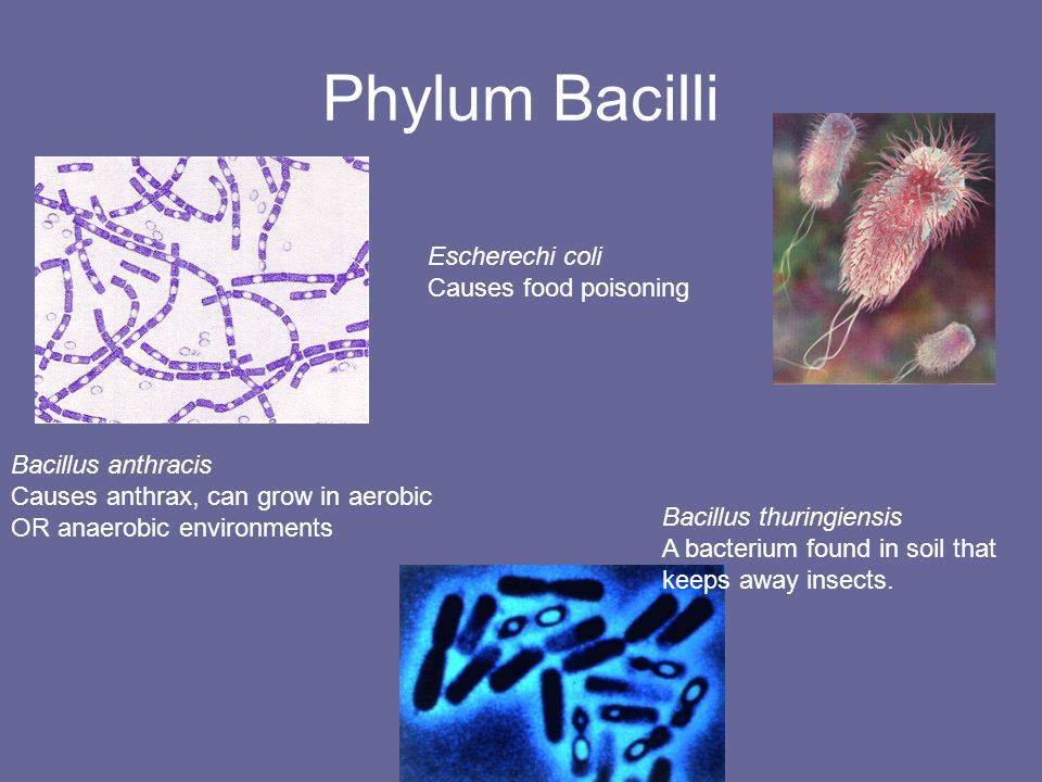 Phylum Bacilli Escherechi coli Causes food poisoning