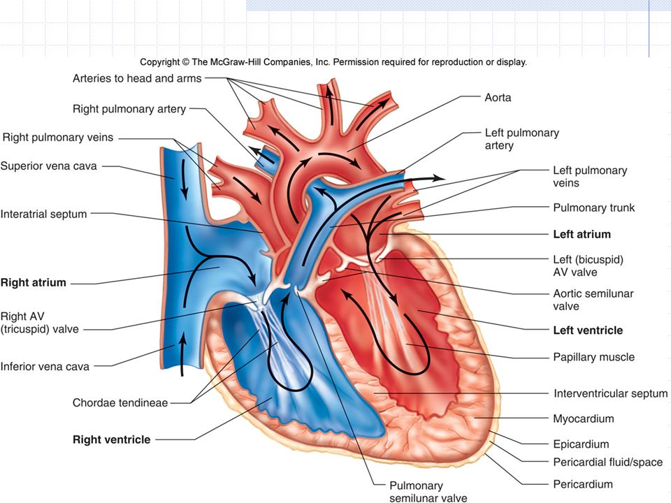 Groß The Heart Anatomy Ideen - Menschliche Anatomie Bilder ...