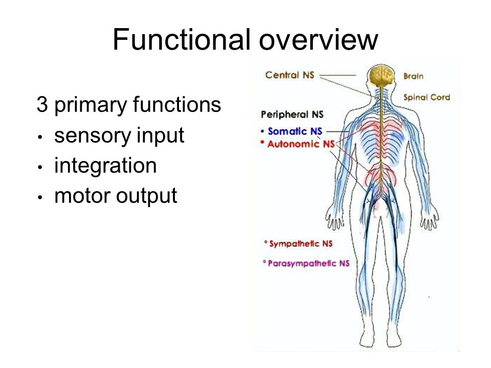 Nervous System Function Ecosia
